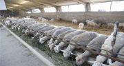 چگونگی پرواربندی گوسفند زنده