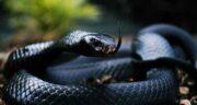 تعبیر خواب دیدن مار سیاه در خواب چیست